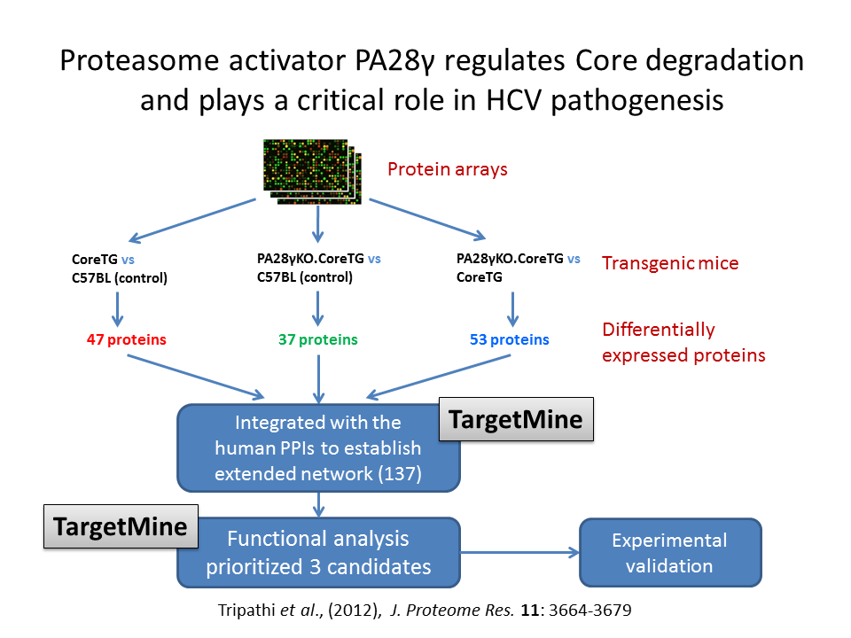 In order to understand the roles of PA28-gamma in HCV infection, we compared and investigated the levels of cellular proteins in transgenic mice expressing HCV core protein in the liver (an in vivo model of HCV pathogenesis) With or without knock out of PA28-gamma expression.